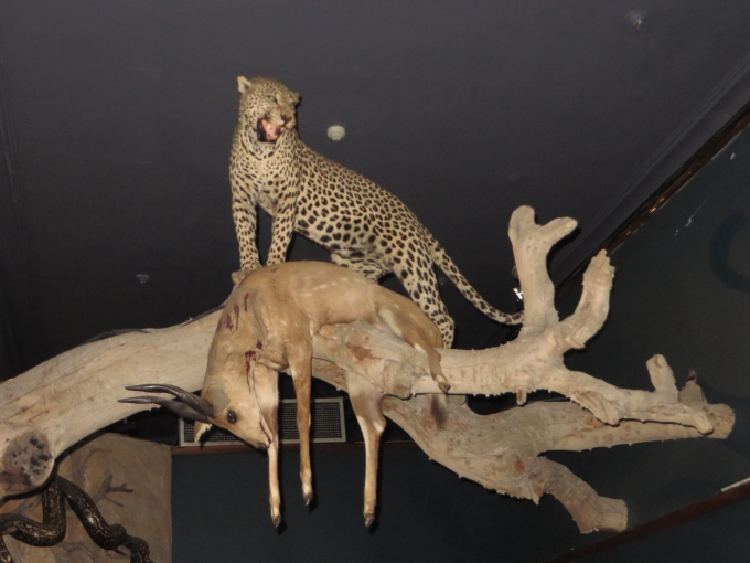 leopard with kill in durban south africa