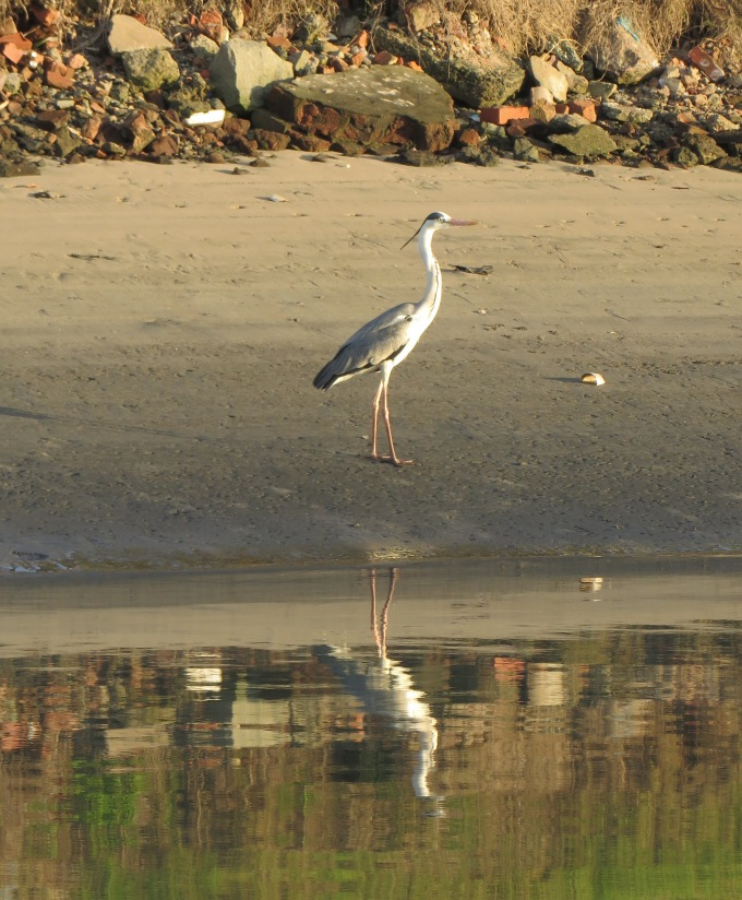 heron at low tide durban south africa