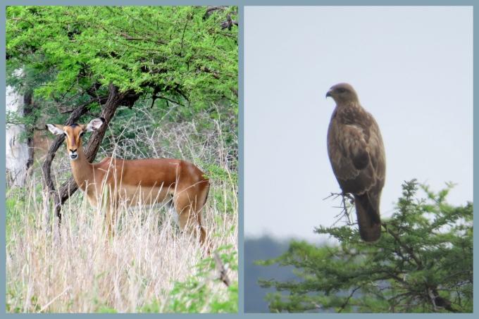 impala and kite