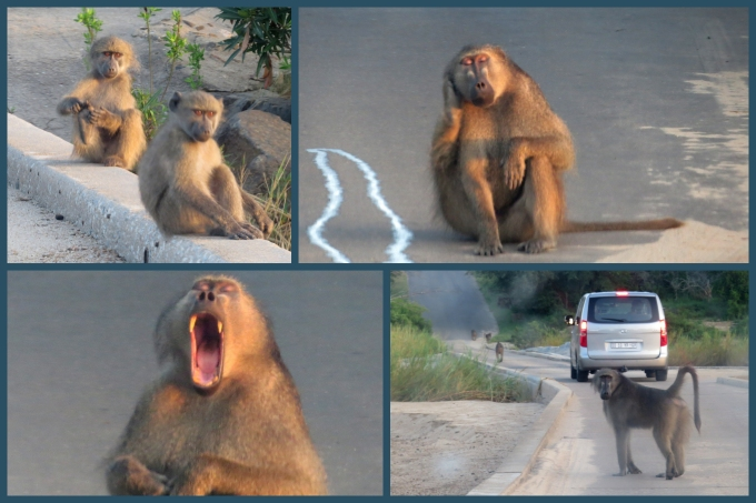 baboons at kruger np