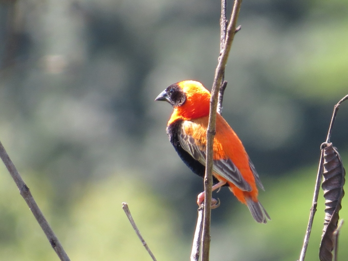 red bishop in mlilwane
