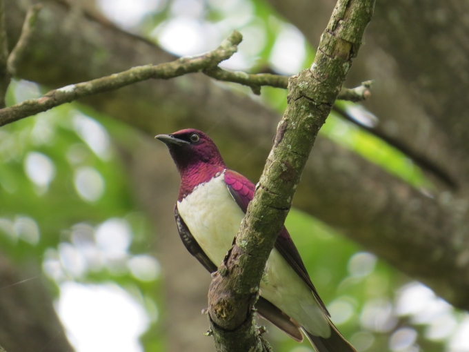 violet backed starling