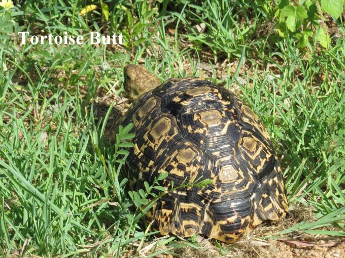 tortoise butt