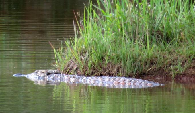 croc at mlilwane wildlife sanctuary