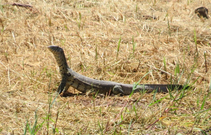 water monitor lizard in swaziland