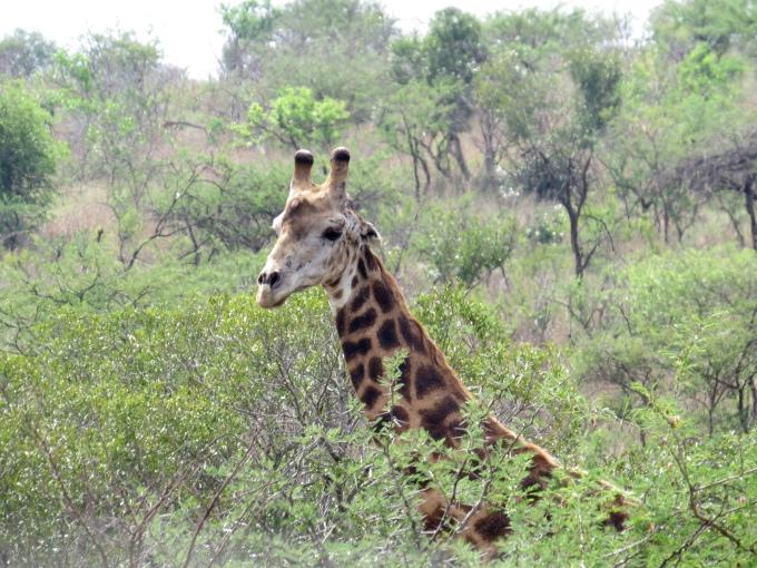 giraffe takes a peek