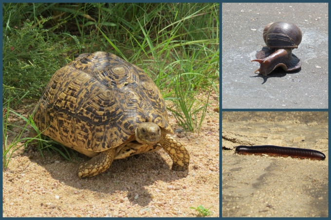 snail, tortoise and millipede at kruger np