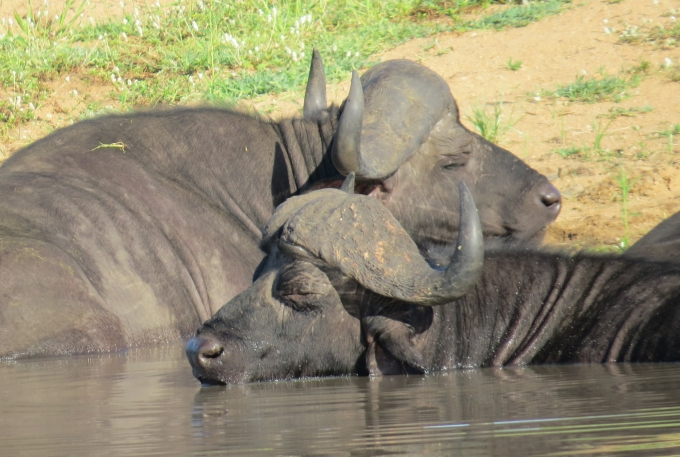 buffalo nap at kruger np