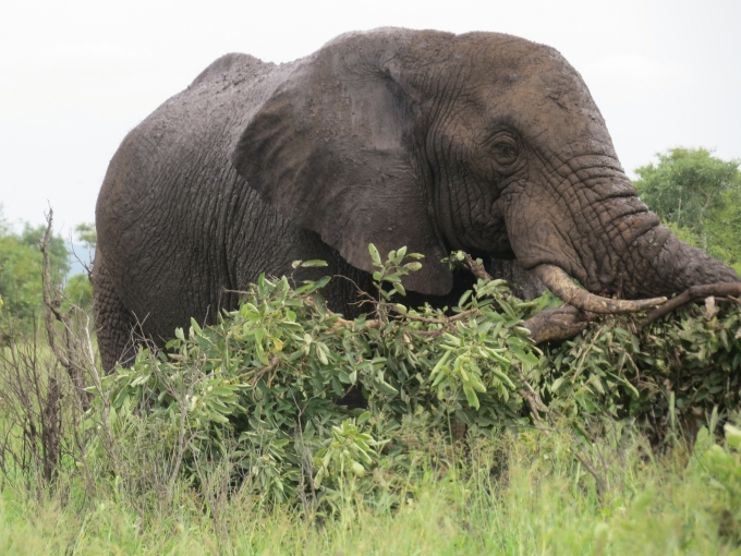 elephant munching on a tree in kruger