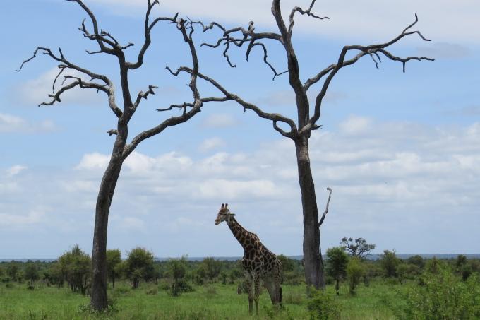 giraffe kruger np