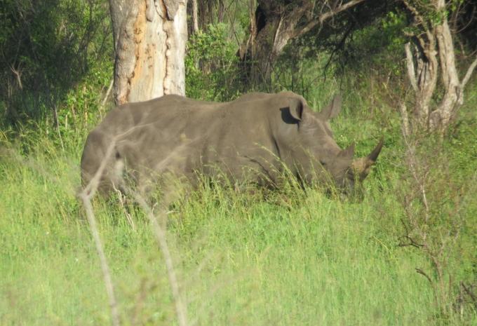 white rhino kruger np