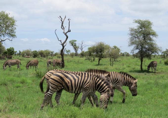 zebra kruger np
