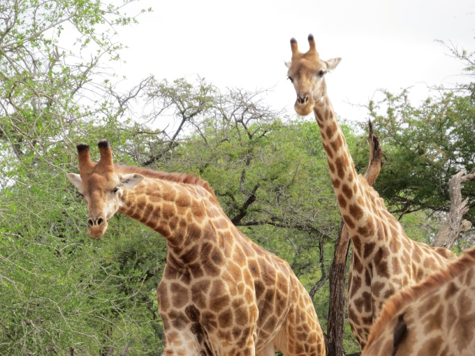 giraffes looking right at us at mkhuse game reserve
