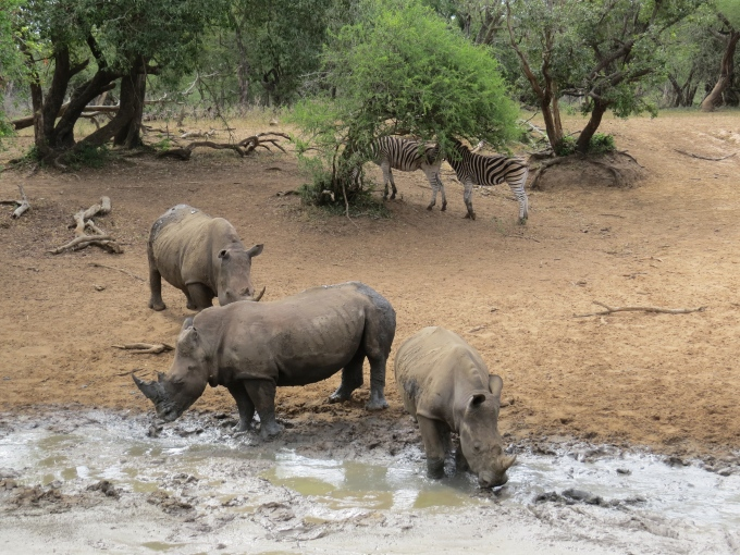 rhinos and zebras at mkhuse game reserve