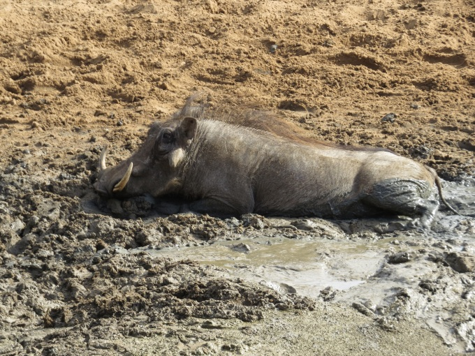 warthog wallowing in mkhuse game reserve