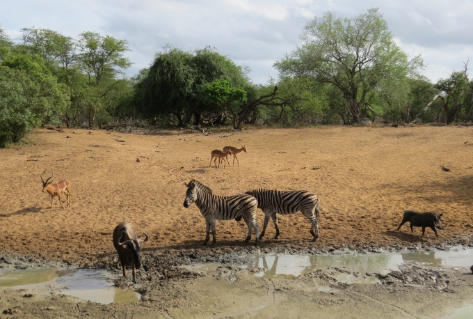 waterhole at mkhuse game reserve