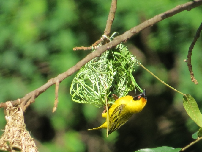 village weaver in mlilwane wildlife sanctuary