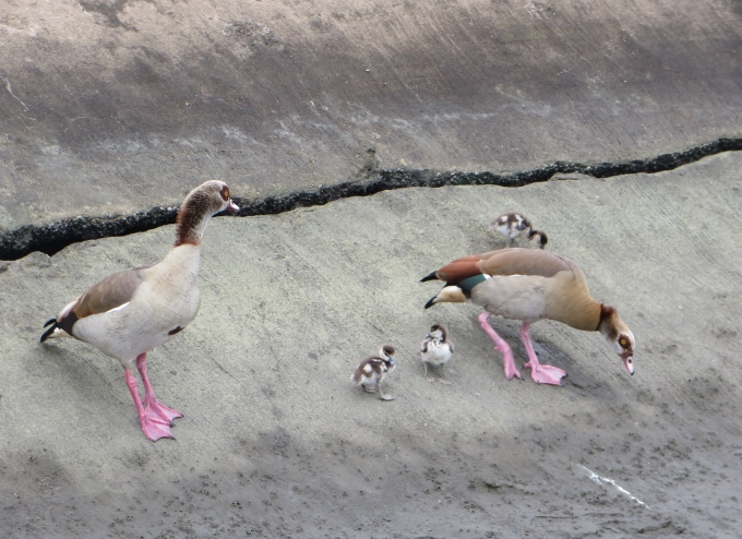 egyptian geese with pink legs