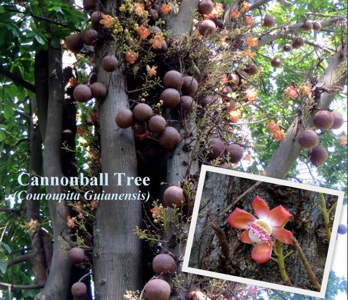 durban botanic garden cannonball tree