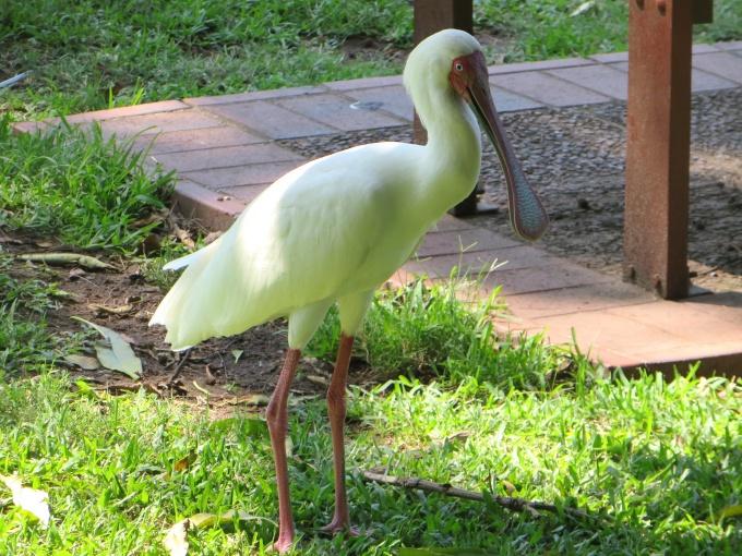 durban botanic garden african spoonbill