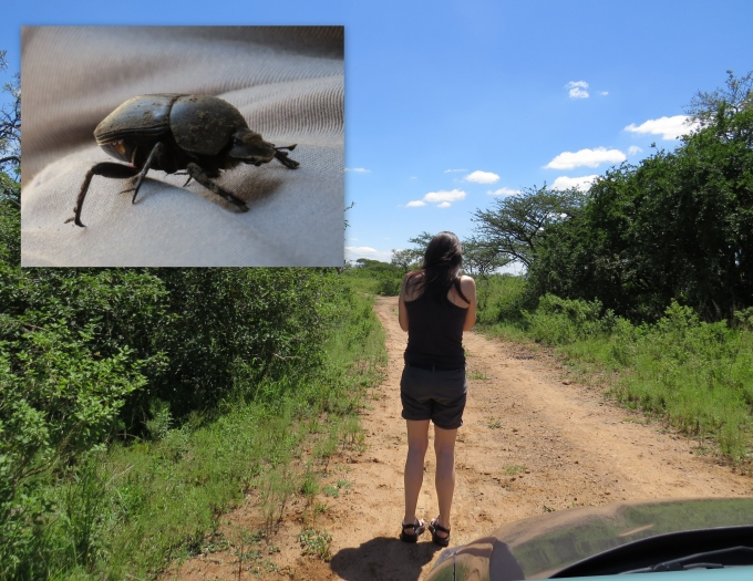 dung beetle at tala game reserve