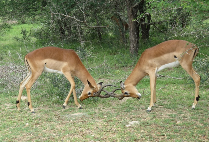 sparring impalas