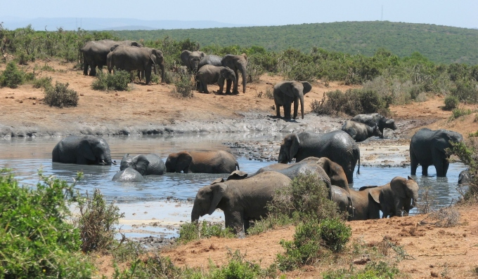 elephants at a mudhole