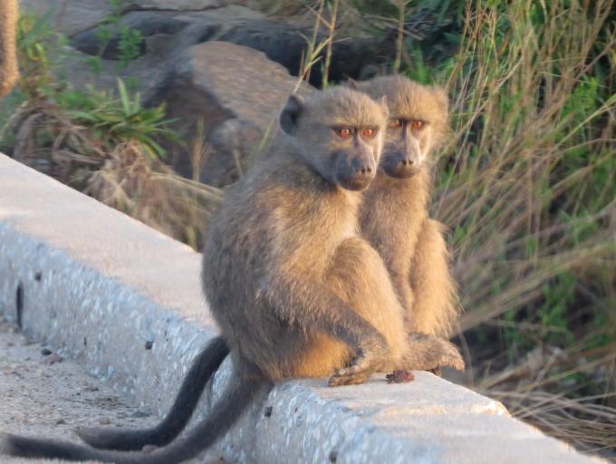 baboon twins