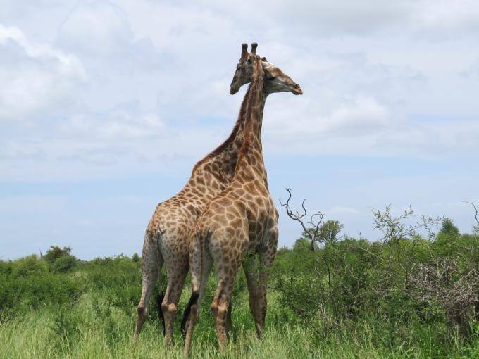 giraffe togetherness