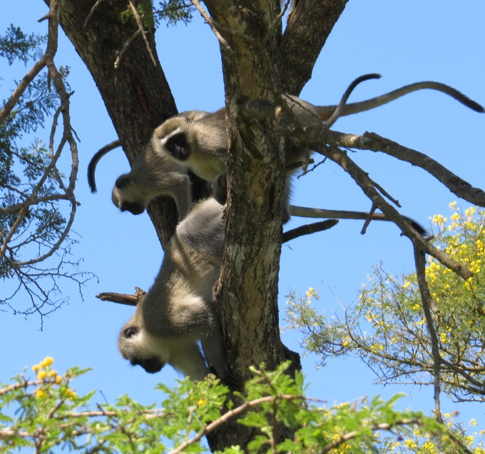 monkey tree at tala game reserve