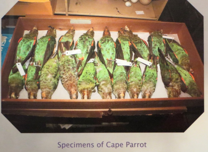 cape parrot specimens at the east london museum