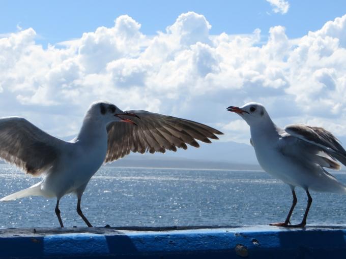 gulls altercation