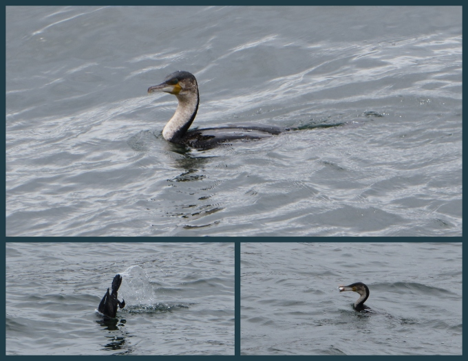 cormorants not floats