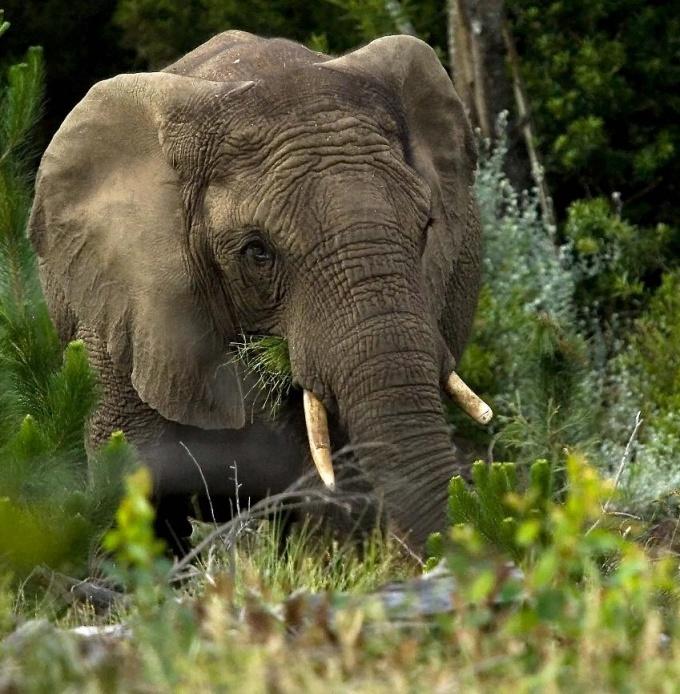 knysna elephant south africa