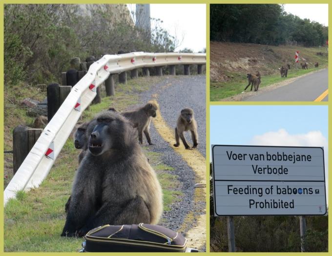 baboons on the way to knysna
