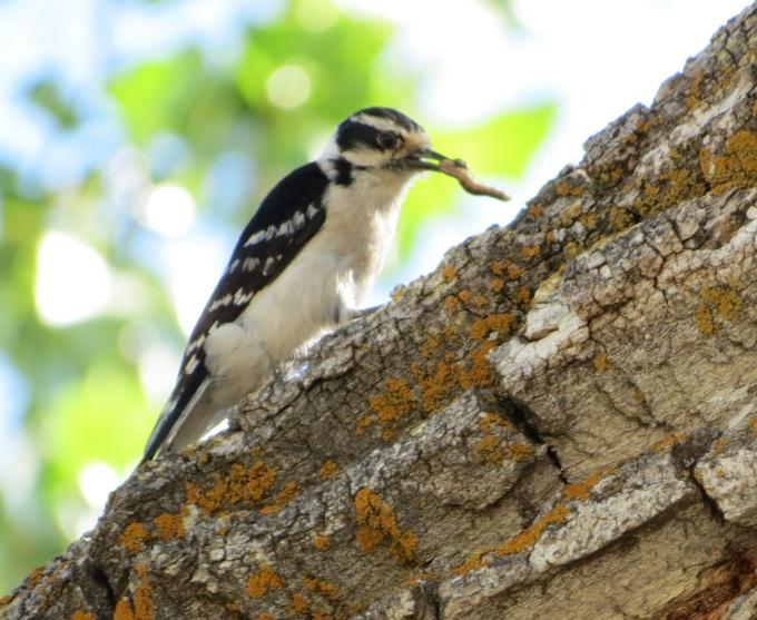 american woodpecker