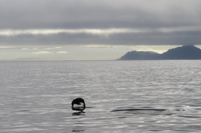 jumping seal at simons town