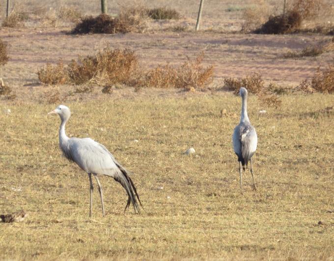 blue cranes south africa