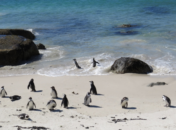penguins at the beach south africa