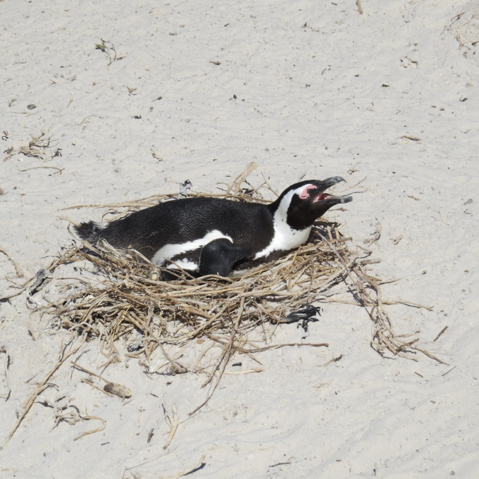 penguins nesting at boulders beach south africa