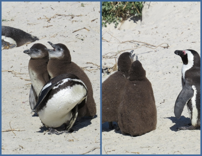 twins penguins at boulders beach south africa