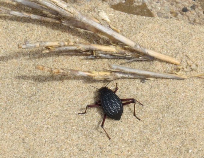 fogstand beetle namibia