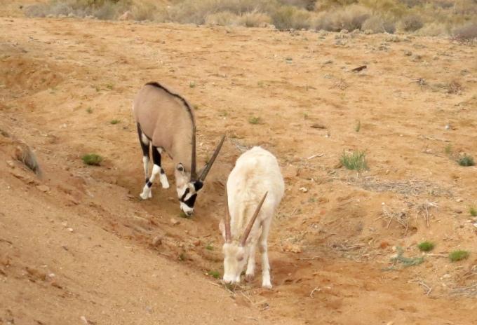 albino oryx