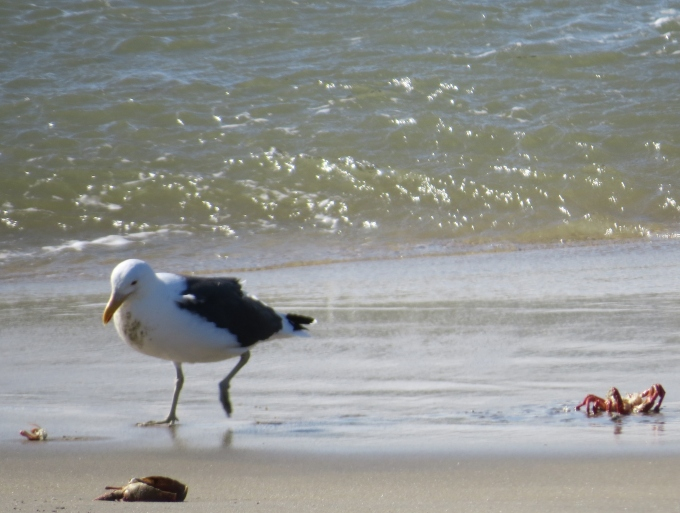seagulls picking shells