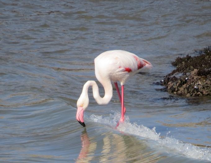 flamingo luderitz namibia
