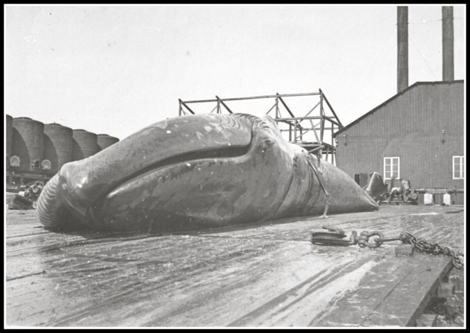 whale at luderitz whaling station c. 1910