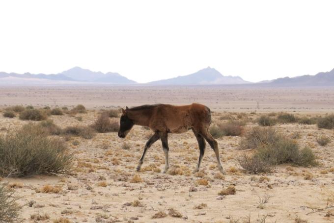 foal in namib desert