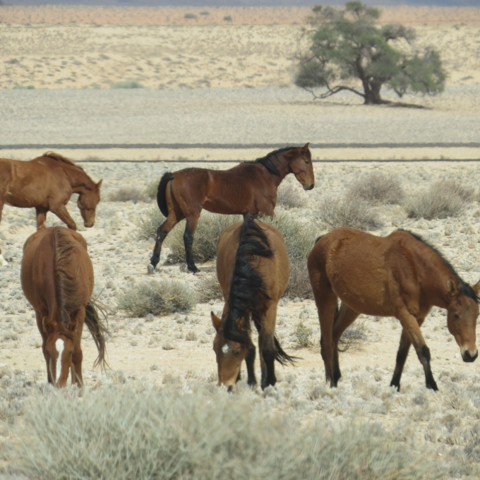 wild horses of namib desert grazing