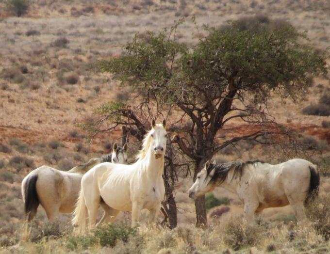 white wild horses namib desert