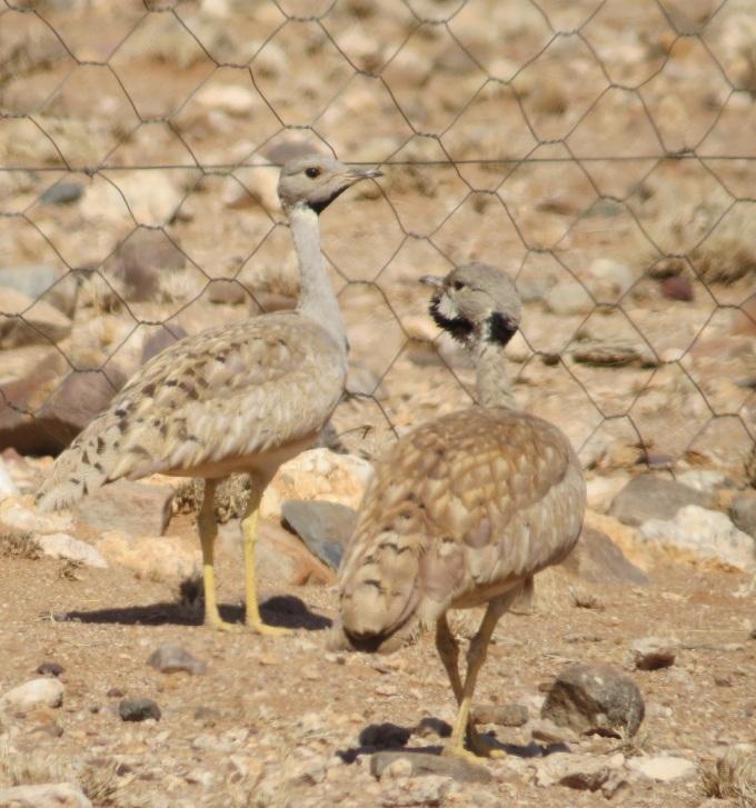 korhaan in namibia